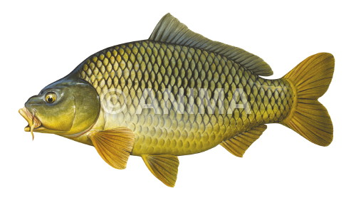 Carpe /Carp,Common2 Cyprinus carpio
