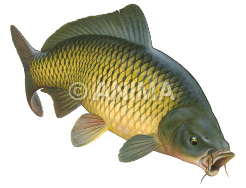 Carpe /Carp,Common3 Cyprinus carpio