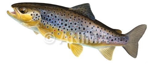 Truite fario/Brown Trout1 Salmo trutta