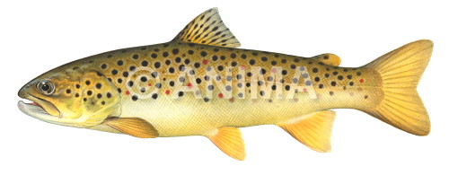 Truite fario/Brown Trout2 Salmo trutta