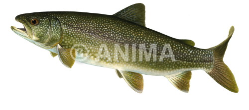 Cristivomer1/Lake Trout Salvelinus namaycush