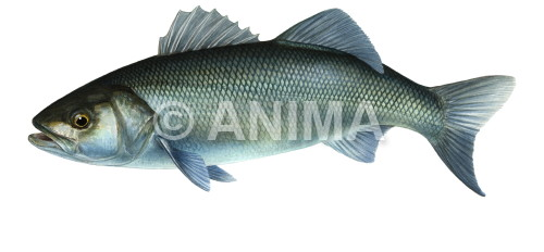 Bar 1/Sea Bass Dicentrarchus labrax