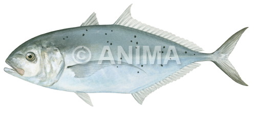 Bludger Trevally Carangoides gymnostethus