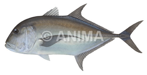 Giant Trevally1 Caranx ignobilis