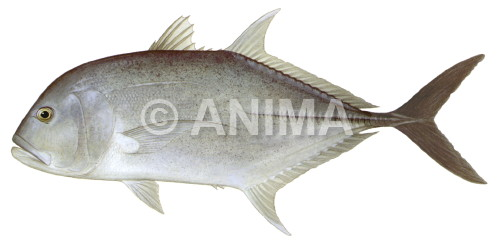 Giant Trevally2 Caranx ignobilis