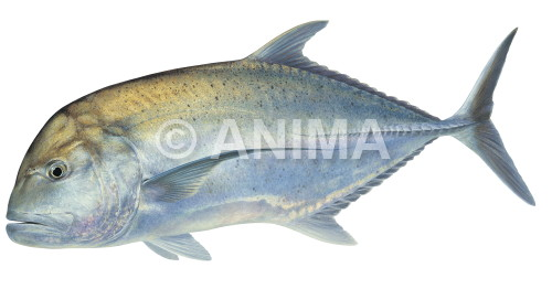 Giant Trevally3 Caranx ignobilis