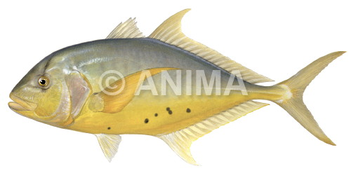 Golden Trevally2 Gnathanodon speciosus