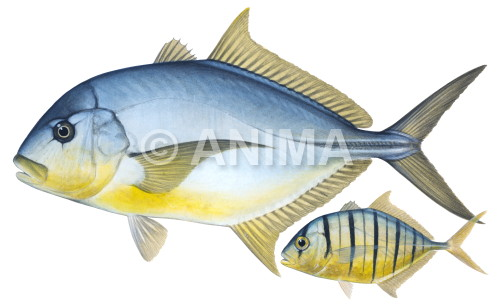 Golden Trevally3 Gnathanodon speciosus