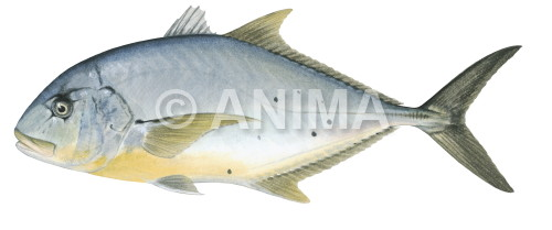 Golden Trevally5 Gnathanodon speciosus