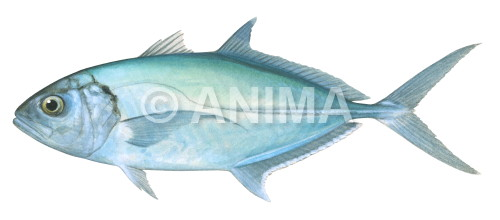Green Trevally Caranx caballus