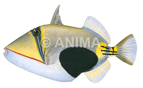 Blackpatch Triggerfish Rhinecanthus verrucosus