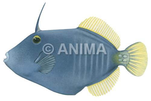 Barred Leatherjacket Cantherhinus dumerilii