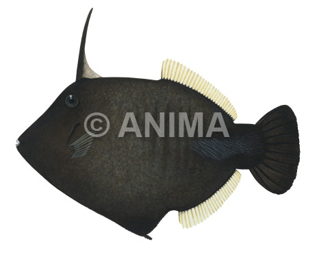 Broom Filefish Amanses scopas