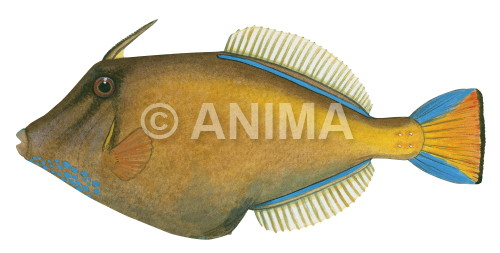 Largescale Leatherjacket Cantheschenia grandisquamis