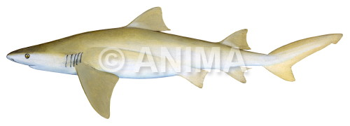 Lemon Shark,Pacific Negaprion brevirostris