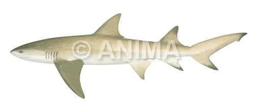 Lemon Shark2 Negaprion acutidens