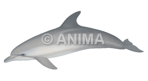 Dolphin,Bottlenose Tursiops truncatus