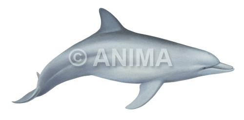 Dolphin,IndopacificBottlenose_Tursiops aduncus_DEY