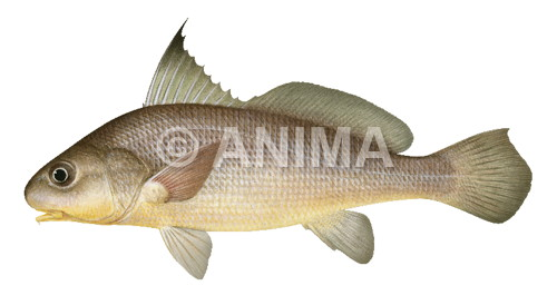 Bearded Jewfish Johnius amblycephalus