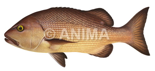 Red Bass3 Lutjanus bohar