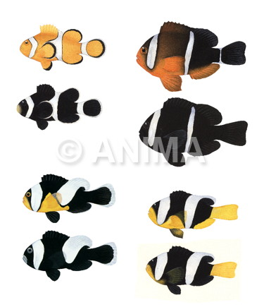 Anemonefishes Melanistic and Normal colour forms
