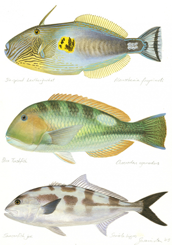Leatherjacket,Tuskfish,Samsonfish juv
