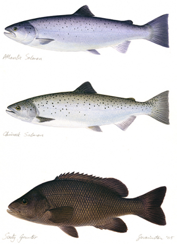 Atlantic Salmon,Chinook Salmon,Sooty Grunter