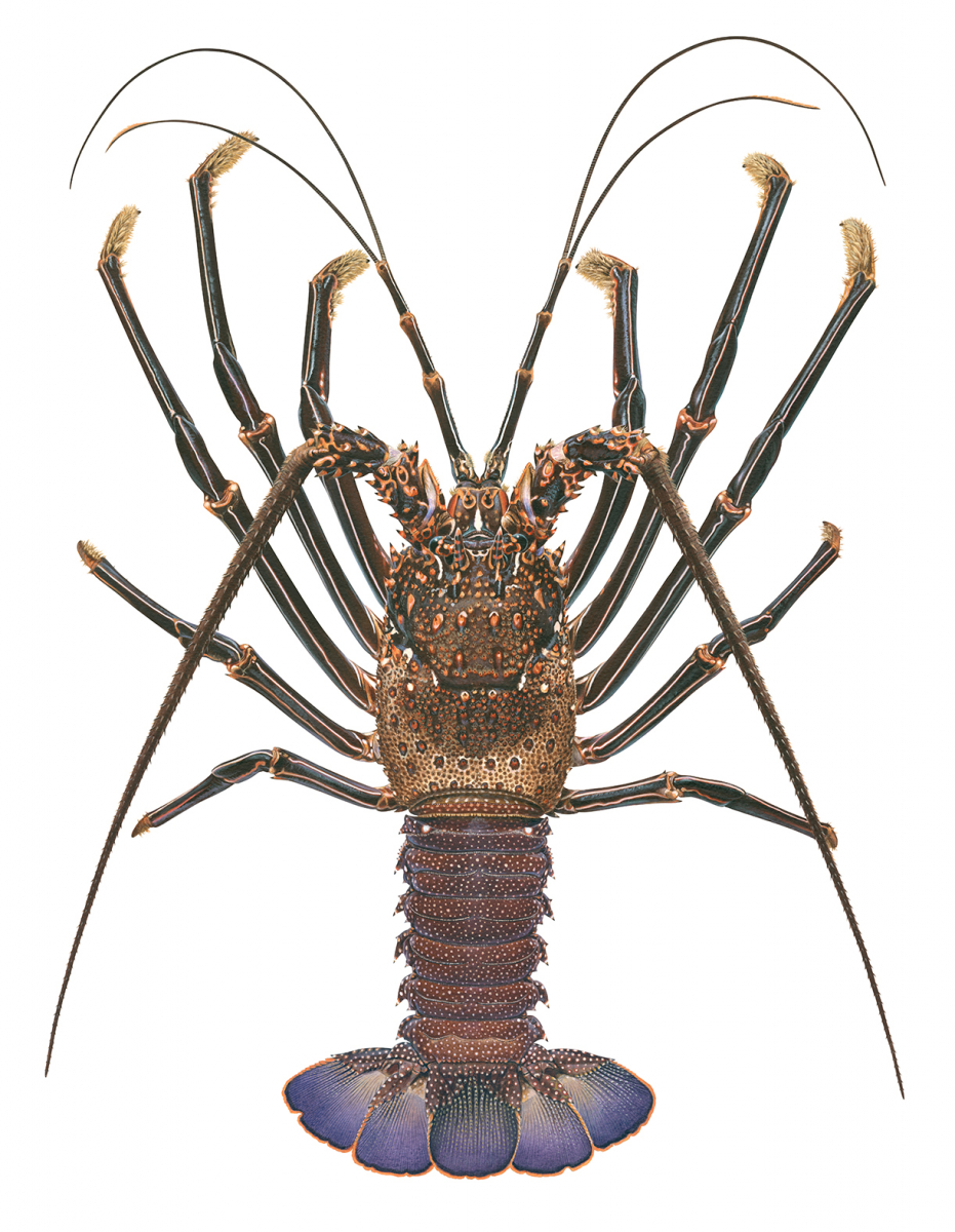 Rock Lobster, Brown_Panulirus echinatus