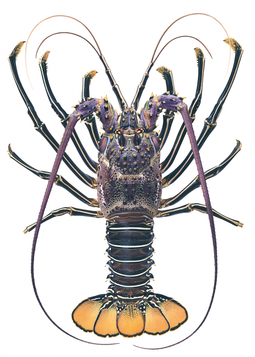Rock Lobster,Royal_Panulirus regius_ANIMA