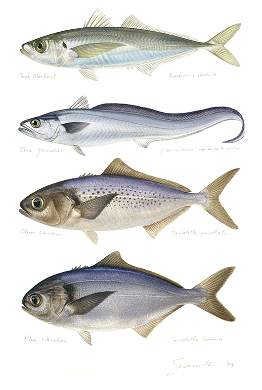 Jack Mackerel, Blue Grenadier, Silver Warehou, Blue Warehou