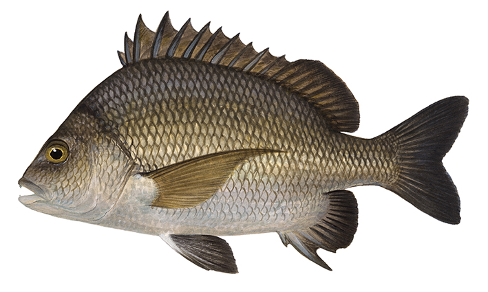 Pikey Bream_Acanthopagrus berda_ANIMA