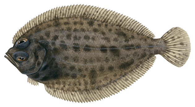 Spotted Deepsea Flounder
