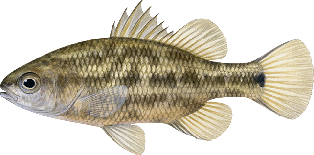 Ewen Pygmy Perch