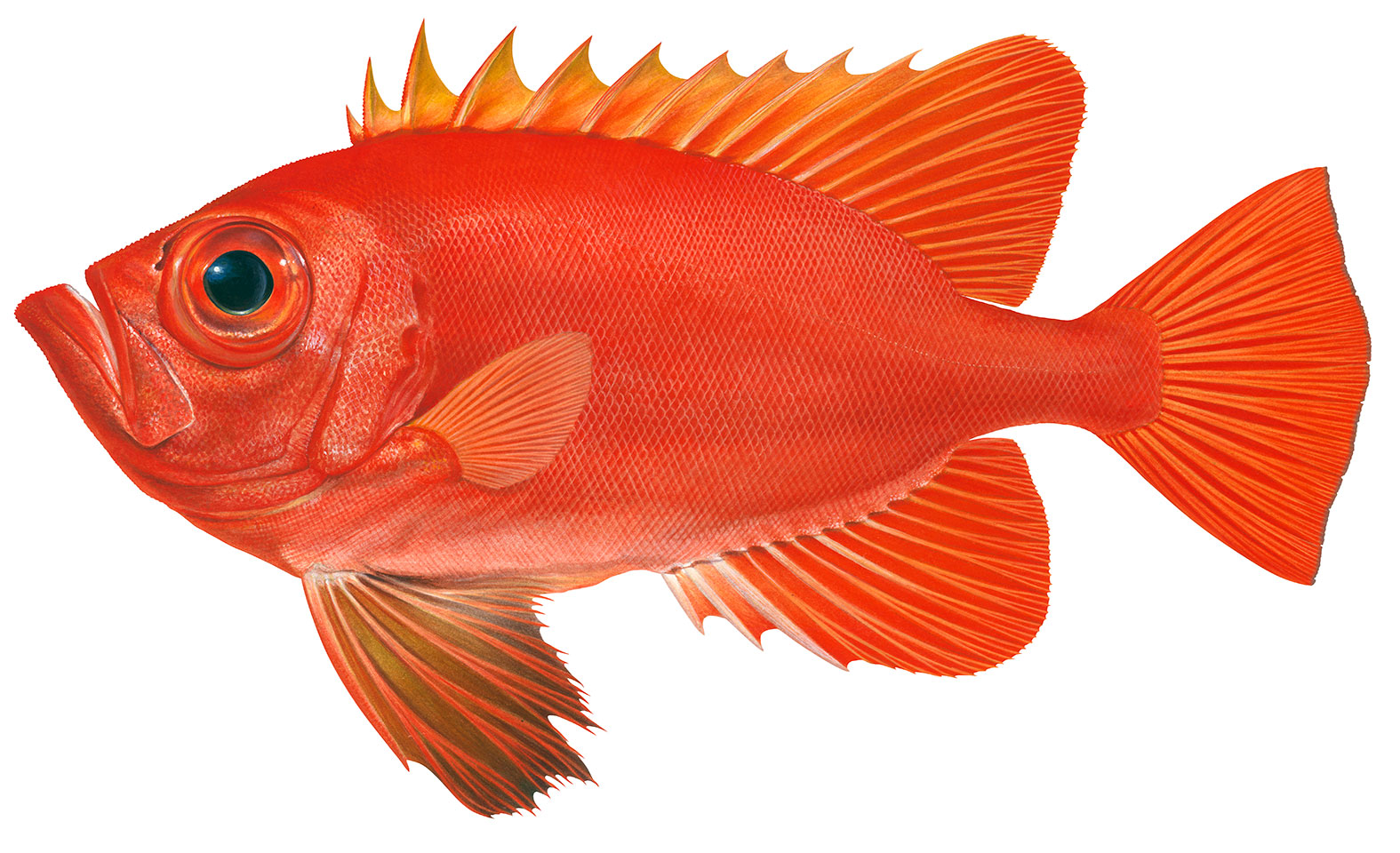 Print-Landing-page-Fish-category-Longfin-Bigeye2