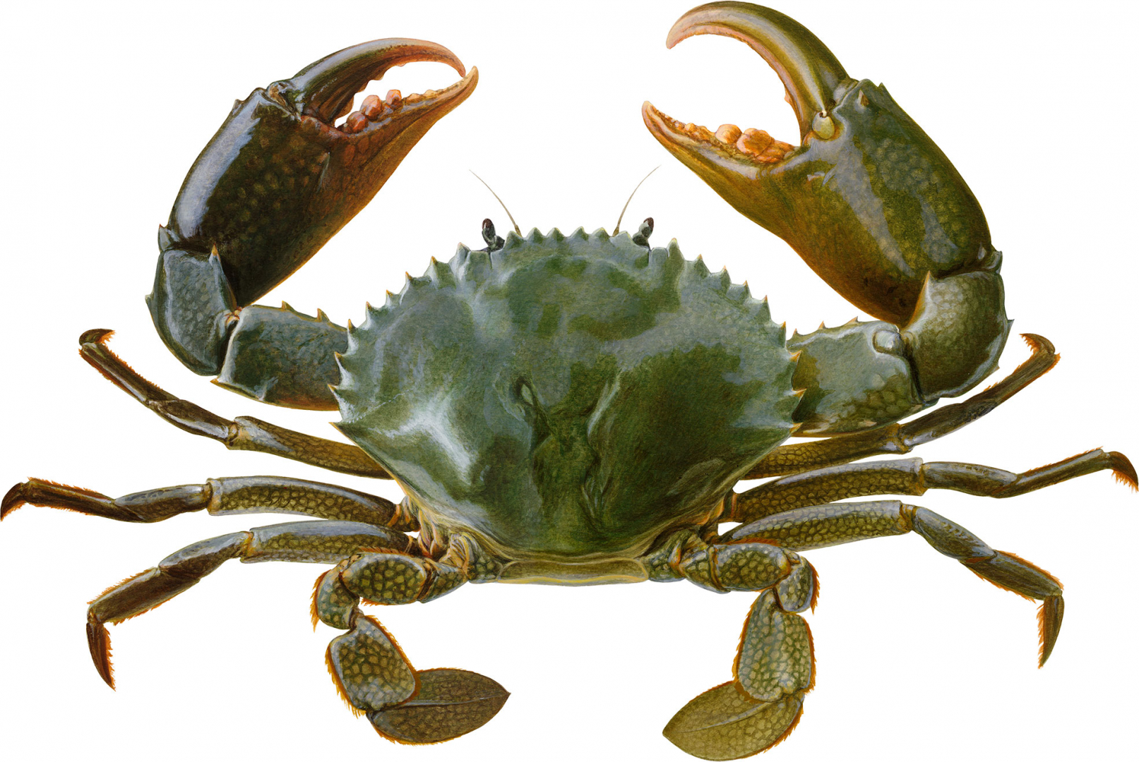 print-page-Crab-Mud-crustaceans-category
