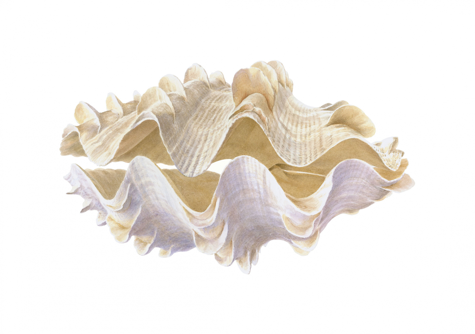 Print-page-Clam,FlutedGiant,,Natural-History-category-