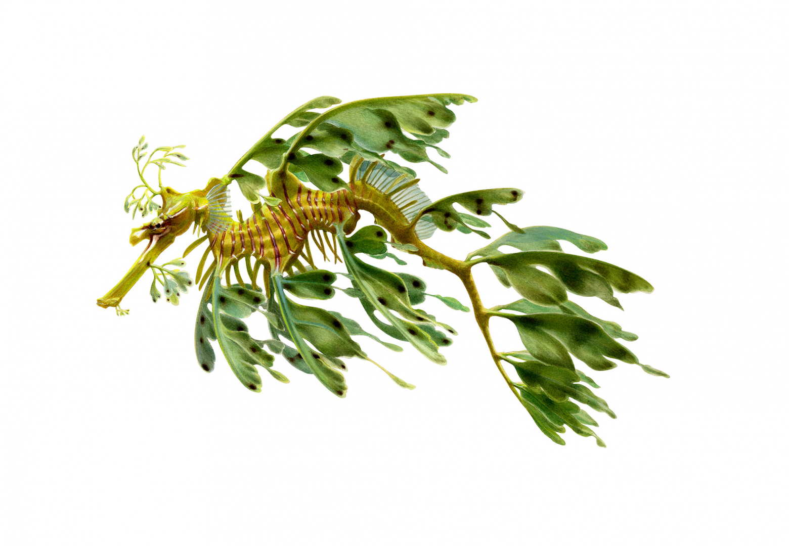 for-Explore-iconsSeadragon,Leafy2-1