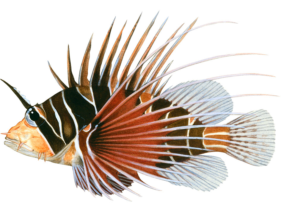for-Explore-icons-Whitelined-Lionfish1