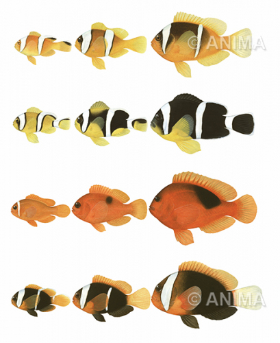 Anemonefishes_Juvenile_to_Adult_colour