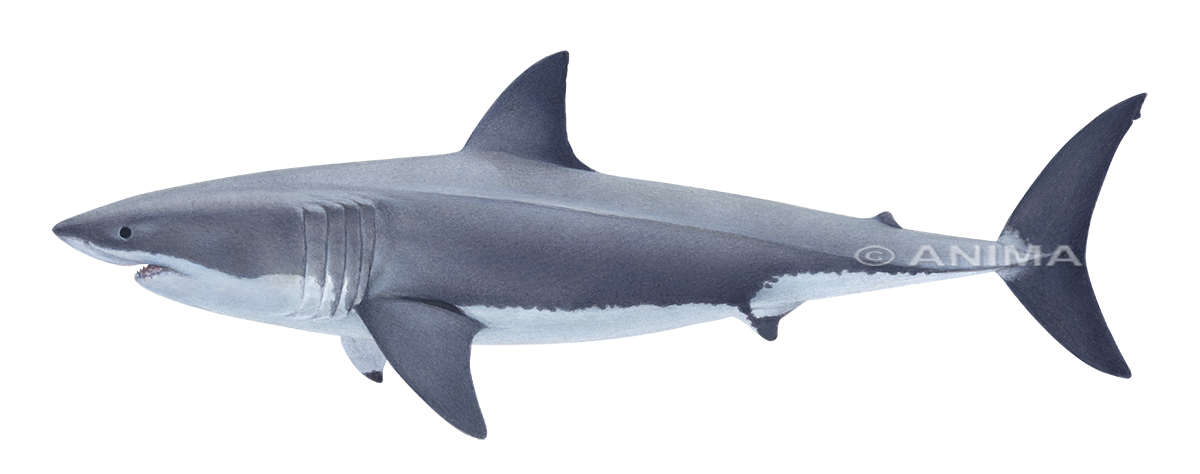 Great White Shark3_Carcharodon carcharias_DEY