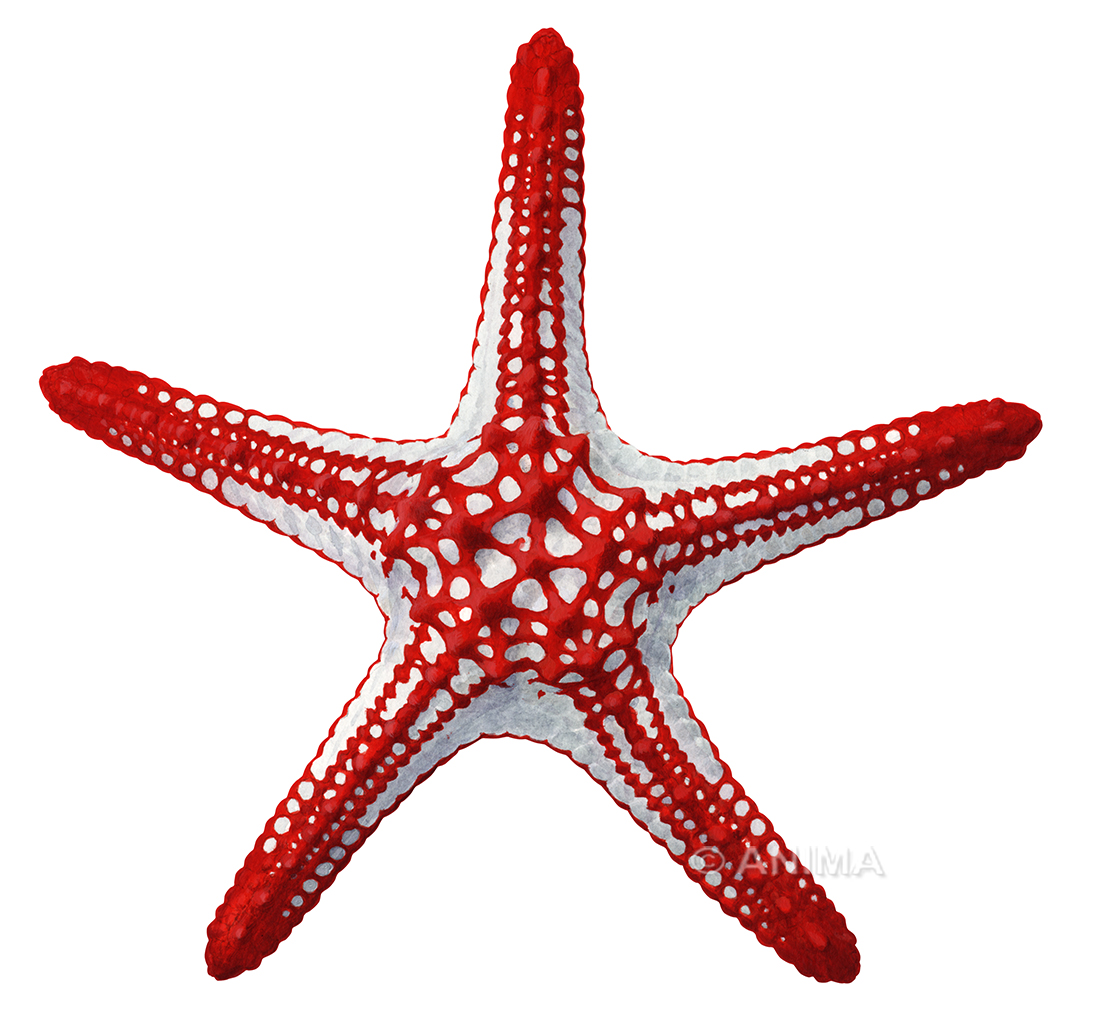 Knobby Red Seastar_Protoreaster linckii_ANIMA