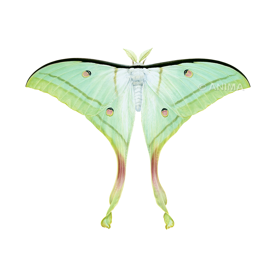 Moth,IndianMoon_Actias selene_ANIMA