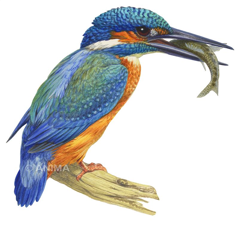 Kingfisher,Common_Alcedo atthis_DEY