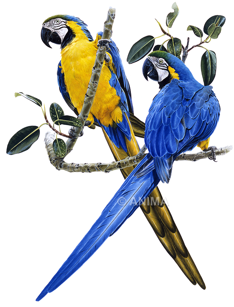 Macaw,Blue and Yellow_Ara araruana_TSF
