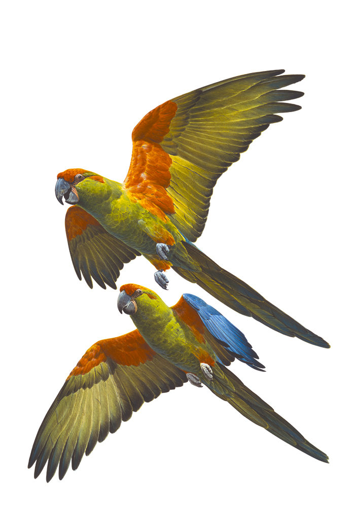 Macaw,Red Fronted_Ara rubrogenys_ANIMA