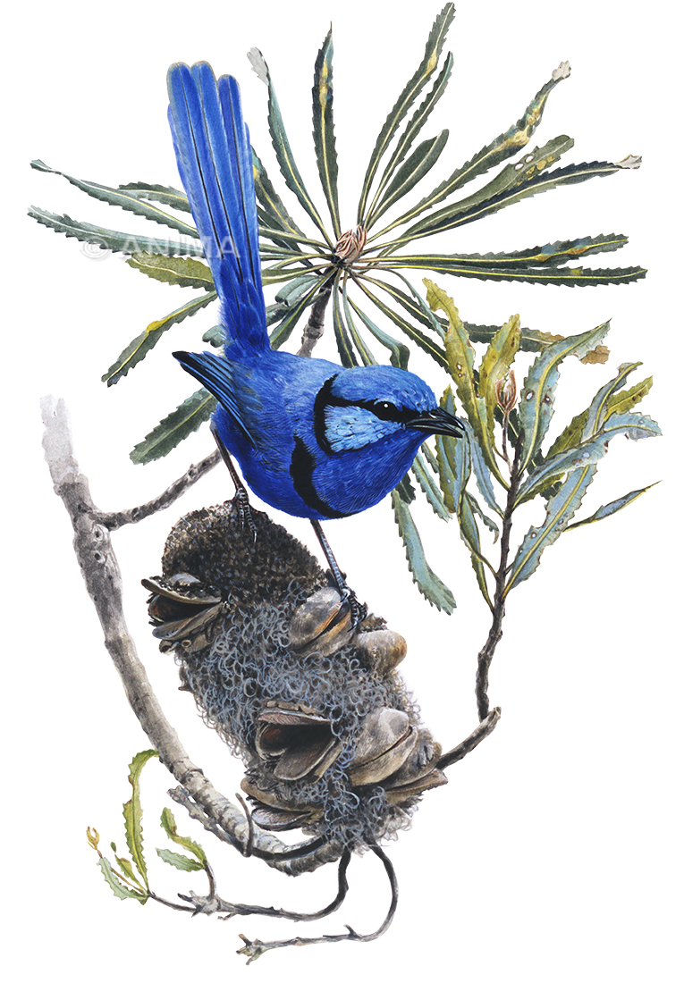 Splendid Fairy Wren_Malurus splendens_ANIMA