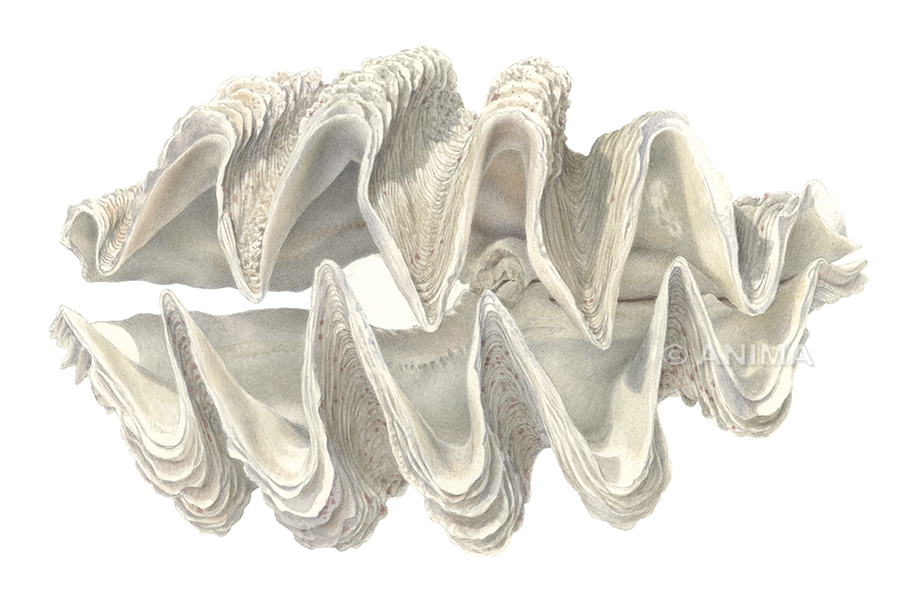 Giant Clam_Tridacna sp.nov