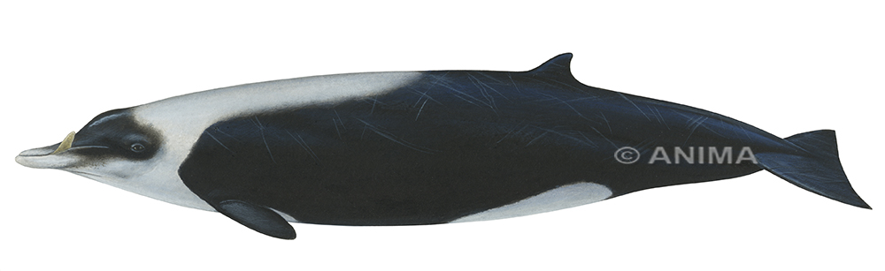 Whale,Straptoothed2_Mesoplodon layardii_WO