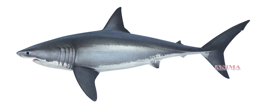 Great White Shark4_Carcharodon carcharias_DEY