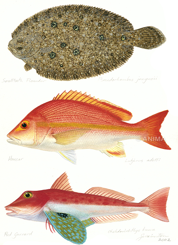 Smalltooth Flounder, Hussar, Red Gurnard